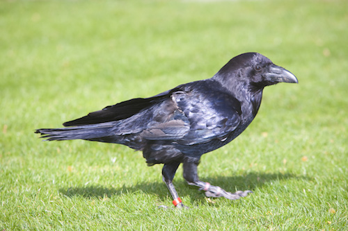 Raven on Tower Green